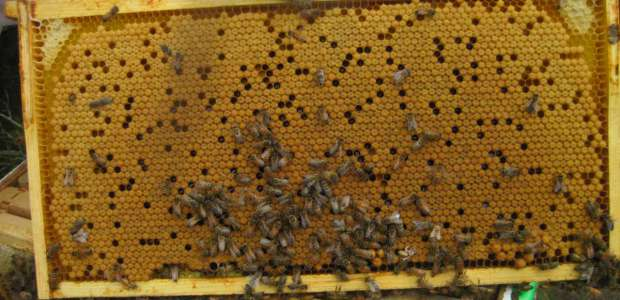 Summer bee brood!