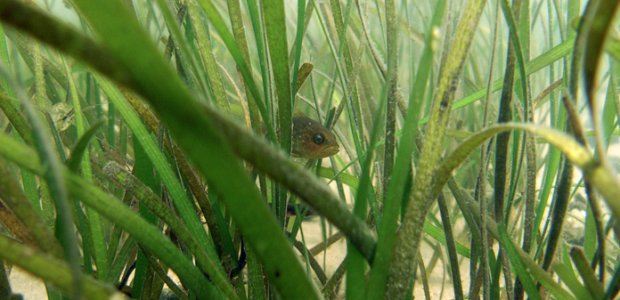 Eelgrass sheltering a cunner in Nantucket Harbor. —Photo by Kimberly Manzo, Cornell Cooperative Extension