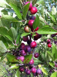 Beach plums abound, but get them soon before the birds (and other pickers) beat you to it!