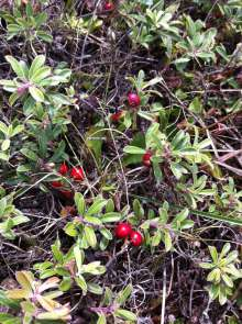 Don't forget the beautiful red hues of bearberry and cranberry. More food sources for the native wildlife and migrating birds.