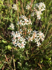 Toothed white-topped aster.
