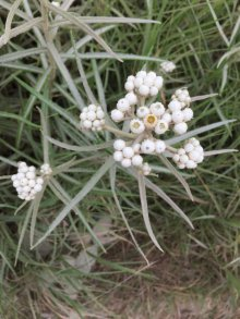 Pearly everlasting.