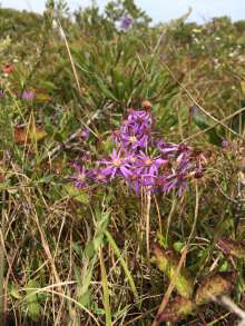 Fall purples abound as seen in the endangered Eastern Silvery Aster.