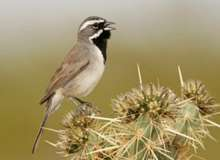 Not all black-throated sparrows are Black-throated Sparrows!