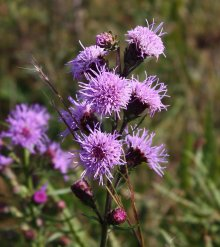 New England blazing star at its finest.