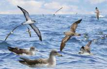 Cory's Shearwaters often mix with Sooties and Great Shearwaters