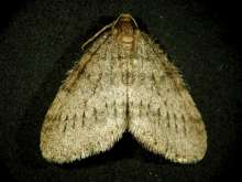Winter moth © Robert Childs, University of Massachusetts, Bugwood.org