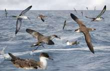 Great Shearwaters feeding flock