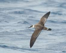 Shearwater on stiff wings