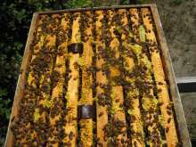 One of three supers loaded with bees and the honey, which I'll be harvesting.