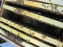 A full lower brood box in the Italian bee hive.