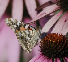 Butterflies, like these painted ladies, are also on the migration path south.