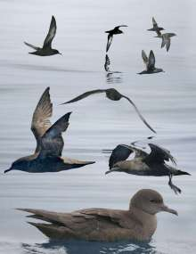 Sooty Shearwaters are gray, with little contrast