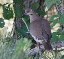 The infamous white-winged dove.