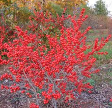 Native winterberry in all its glory. Photo courtesy of www.naturallandscapesnursery.com