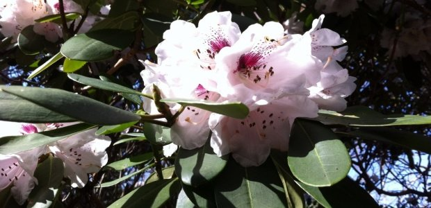 Rhododendron Heritage Hybrid