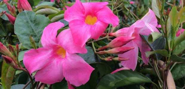 Vining Mandevilla is a great plant for Nantucket