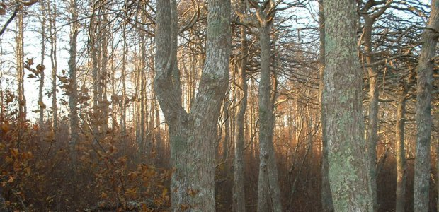 One of Nantucket's few forests.