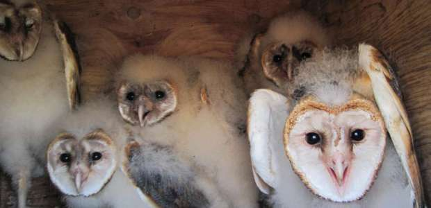 Barn owl chicks in a nesting box on Nantucket Harbor in Shimmo.