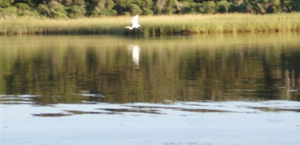 Great egrets have returned to the field station