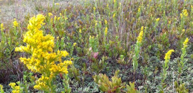 Goldenrods are a symbol of September on Nantucket