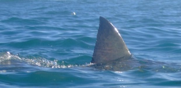 Great White Sharks In Nantucket Ma Waters