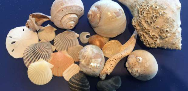 Shells--all found on my beach at Eel Point--even the sand dollar