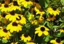Rudbeckia triloba - one of the many different flowers that goes by the nickname 'Black Eyed Susan.'
