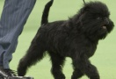 Banana Joe Affenpinscher at Westminster Kennel Club 2013