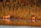 Two deer at Nantucket pond
