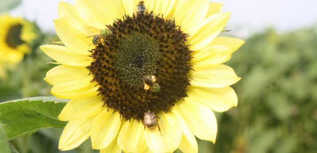 Bees flock to sunflowers.
