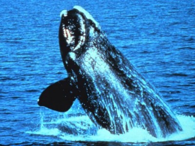 Right whale