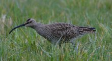 Whimbrel in the marsh grass