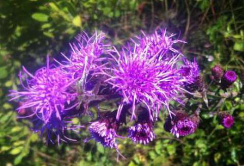 New England blazing star, a sandplain grasslands species