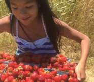 Picking Strawberries--one of life's great joys!