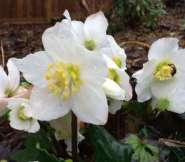 Hellebores blooming in December.