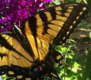 I know, this isn't a monarch, but this Eastern tiger swallowtail on my butterfly bush is around the same size. Just think orange where you see yellow!