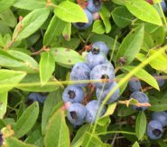 Low bush blueberries out at Smooth Hummocks.