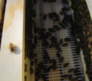 Carniolan bees at work drawing out comb in the super frames above the brood boxes below the queen separator.