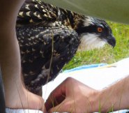 An osprey being banded on Nantucket. —Photo courtesy of the Maria Mitchell Association.