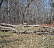 Fallen Butternut Tree