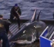 Mary Lee being fitted with tracking device by Ocearch