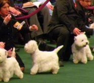 Send in the clones--Maltese at Westminster Kennel Club Show