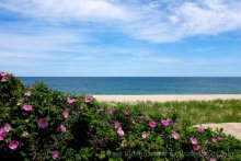Nantucket beach roses overlooking the Atlantic